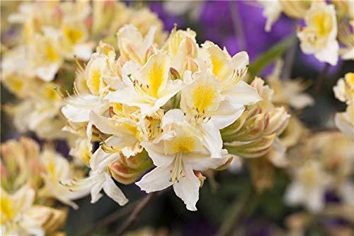 Rhododendron lut. 'Daviesii' Sommergrüne Azalee 40-60cm im Topf gewachsen