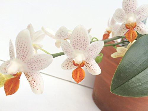 1 blühfähige Orchidee der Sorte: Phalaenopsis Mini Mark, traumhafte Orchidee vom deutschen Züchter