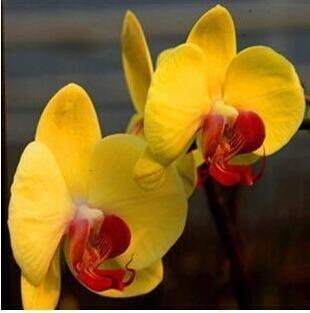 10pcs/lot papillon graines d'orchidées, fleurs d'intérieur bonsaï quatre saisons, Phalaenopsis Orchidées jardin à la maison 13