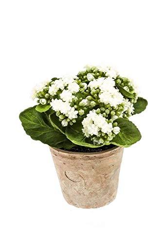 artplants.de Künstliche Kalanchoe FAJRA, Blüten, Creme - weiß, 22cm - Deko Blume - Kunst Pflanze