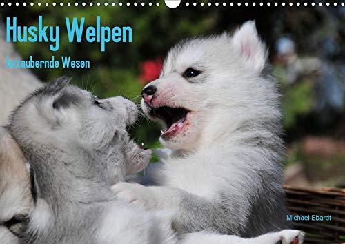 Husky Welpen (Wandkalender 2020 DIN A3 quer): Siberian Husky Welpen sind wahre Schönheiten. Davon kann man sich beim Anblick dieser Bilder überzeugen (Monatskalender, 14 Seiten ) (CALVENDO Tiere)