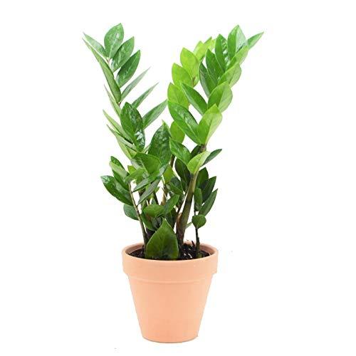Zamioculcas Zamiifolia con Maceta de Cerámica Planta de Interior Natural Zamioculca ZZ Plant