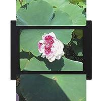 リトルロータス デスクトップフォトフレーム画像ブラックは、芸術絵画7 x 9インチ
