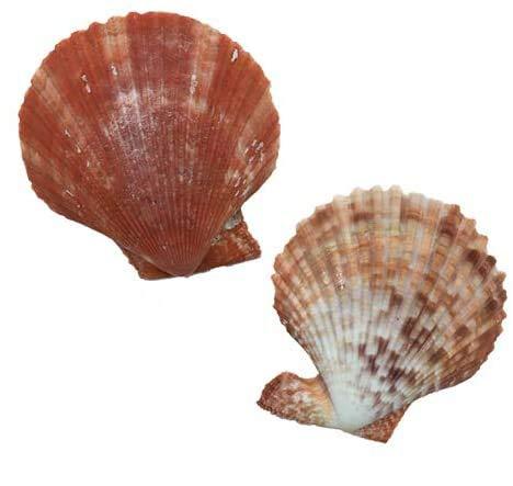天然 ヒオウギ貝(6cm-8cm)
