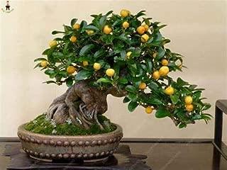 AGROBITS 20Pcs Japanese Rainbow Lemon Bonsai Dwarf Lime Tea Fruit Plants Garden Organic Citrus Limon Tree Semillas de Fruta: Pink
