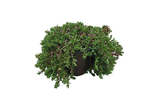 Brahmi (Bacopa monnieri), Marktfrische Pflanze