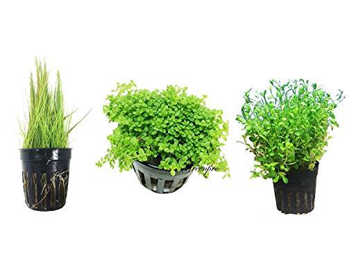 Greenpro - Paquete de 3 plantas de alfombra para bebé enano, lágrimas de pelo enano y Glosso en maceta acuática para acuario de agua dulce
