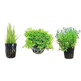 3 Teppich Pflanzen Zwerg Baby Tränen