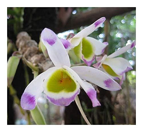 Dendrobium pendulum - orchidées - 100 graines