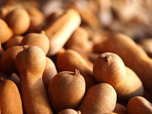 FERRY HOCH KEIMUNG Seeds Nicht NUR Pflanzen: Süße Tamarinde, TamarindusSeed Frische 10 Samen