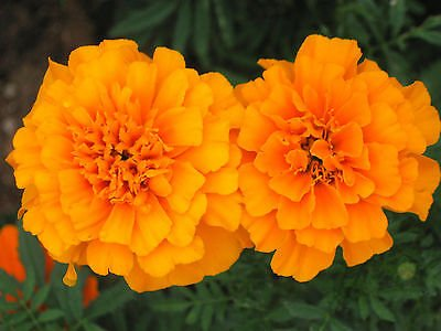 100CT des graines d'Orange Marigold, œillets d'Inde, Heirloom Seeds, facile à cultiver!