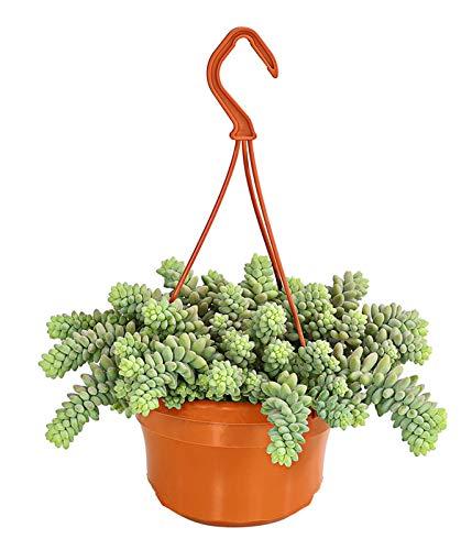 Yukio Samenhaus - 100pcs Rarität Schlangen-Fetthenne als Ampelpflanze, Pflegeleichte hängende Sukkulente Zimmerpflanze Blumensamen winterhart mehrjährig, Ideal für die Blumenampel