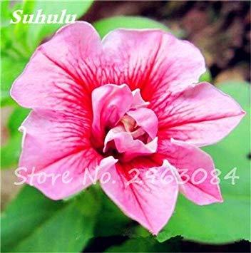 VISTARIC 19: Heißer Verkauf! 100 PC/Beutel Bonsai Calla-Lilien-Samen Indoor-Blumensamen Schöne Garten Dekoration Yard Pflanze Blumentöpfe Pflanz 19