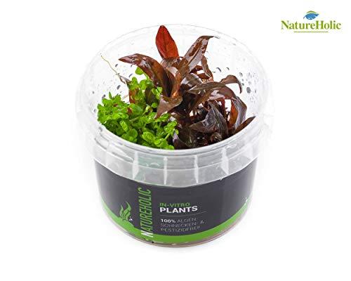 Alternanthera reineckii Mini & Micranthemum Monte Carlo - NatureHolic In-Vitro Aquarium Pflanze
