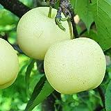 50pcs White Pear Asian Pear Fruit Bonsai Potted Pear Tree Organic Fruit Tree Bonsai for Home Gatden Backyard (50Pieces)