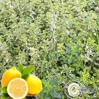 Thym Citron Panach/é Thymus Citriodorus Variegated lot de 3 pieds Hortiflor Bureau