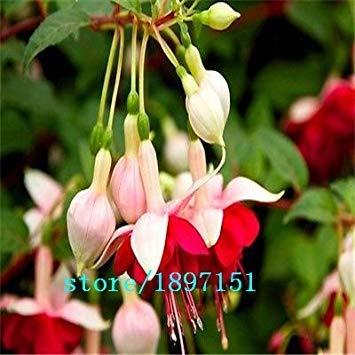 VISA STORE Big Se 100seeds / bag Bcony Topffruchtsamen Samen Mädchen roten Laternen rot Samen Essbare rote Beeren Pickle