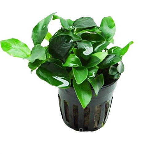 Anubias petite 25~35 leaves - Live aquaric plant fish tank(The plant pot excluded)No pesticides