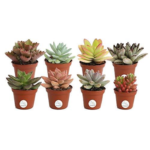 Pack de 8 Plantas Suculentas Mix Maceta 5cm Plantas Crasas Decorativas