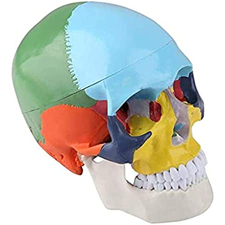CRANE Anatomique Humain Coloré - Modèle d'Anatomie à Taille Humaine