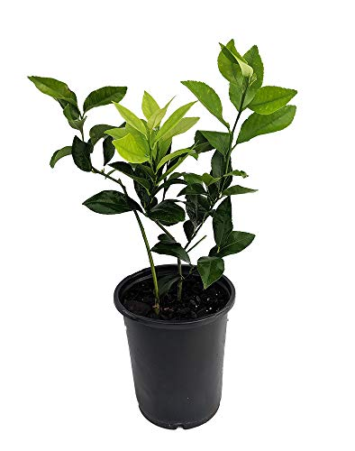 Meyer Lemon Tree - 6' Pot - No Shipping to TX,FL,AZ,CA,LA,HI