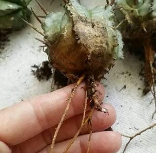 2 Euphorbia Polygona 'Snowflake' Cactus Shipped Bareroot Live Plant
