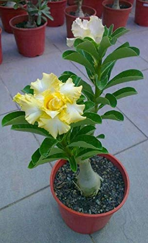 8 Yellow and White Desert Rose Seeds Adenium Obesum Exotic Tropical Flower Seed...