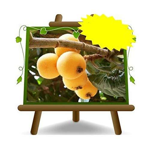 Nespolo del Giappone - Pianta da frutto antico su vaso da 20/22 - max 120 cm - 2 anni