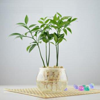Büroschreibtisch Mini-Bonsai-Baum Nageia Samen, Blumensamen, Zimmerpflanzen Glücksbambus 5 Samen