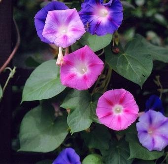 Morning Glory Samen gemischt - Ipomoea Tricolor