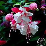 bloom green co. grande vendita giardino viola doppie petali fucsia bonsai in vaso di fiori piante in vaso hanging fucsia fiori 100 flores/pack, 1foy4k: ! 12