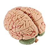 Human Brain Model for Teaching Neuroscience with Vessels Life Size Anatomy Model for Learning Science Classroom Study Display Medical Model