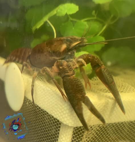 Topbilliger Tiere Edelkrebs - Astacus Astacus - Teich Krebs - Gesundheitspolizei für Ihren Gartenteich