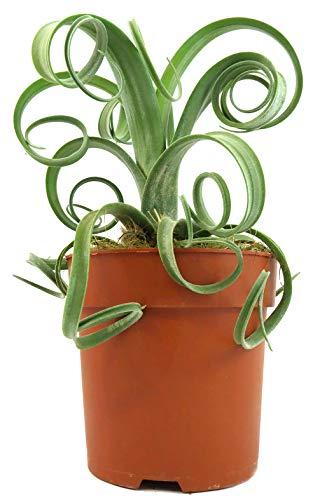 Fangblatt - Tillandsia Curly - exotische Tillandsie mit gekringelten Blättern - dekorative Aufsitzerpflanze - pflegeleichte Zimmerpflanze (dünne Blätter)