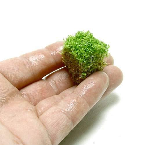 (水草)キューバパールグラス(水上葉) キューブタイプSサイズ(約2cm)(無農薬)(1個) 北海道航空便要保温