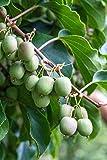 Kiwibeeren Ernte-Trio'Rot & Grün' (3 Pflanzen) - vom...