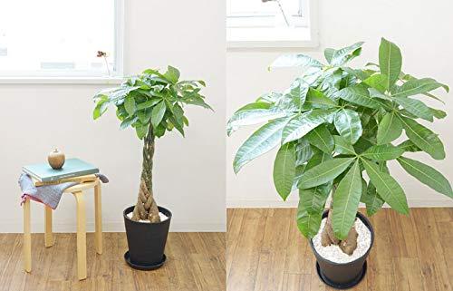 【セラアート鉢】選べる観葉植物8号鉢(パキラ,ブラック)