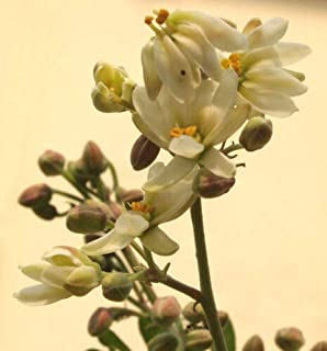 Drumstick Miracle Ben Oil Moringa Oleifera Flower Seeds for Home and Garden #LKY