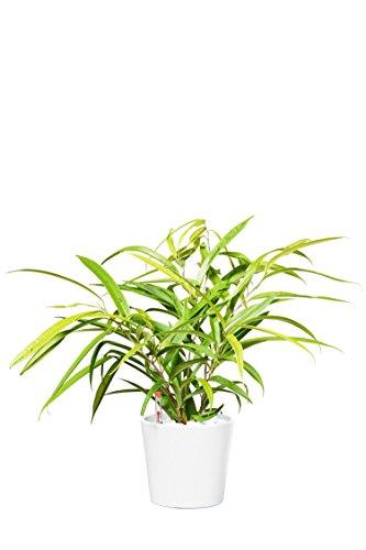 EVRGREEN | Zimmerpflanze Birkenfeige in Hydrokultur mit weißem Topf als Set | Ficus Benjamini | Ficus binnendijkii Amstel Gold