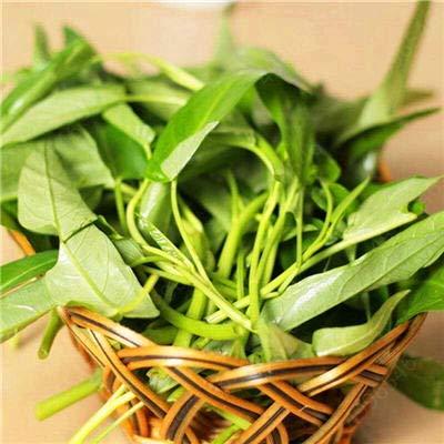 200pcs Wasserspinat Gemüse Bonsai, Chinesisch Spinat oder Kresse Förderung der begrenzte Zeit Spinat Bonsai organisches grünes essbaren: 100 Stück-3