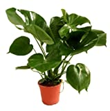 VERDECORA - Planta de Interior Natural - Costilla de Adán o Monstera Deliciosa - Maceta 3 Litros - Altura 50 - 65cm - Planta Natural Viva