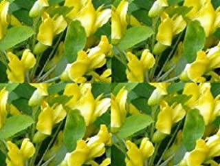 Seedling Siberian Pea Shrub Tree Seedling Flowering and Edible Pea Pods & Poultry Feed No Shipments to California or Hawaii Get 1 Seedling #BC01YN