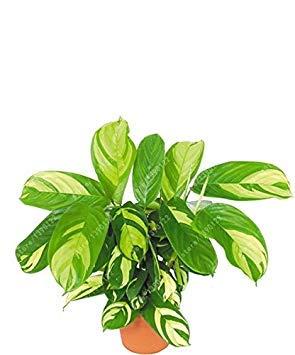 Vistaric 100 pcs/sac graines de plantes de caladium, Burnt Rose (jio ying) oreille d'éléphant belle graines de fleurs d'arbres de bonsaï en plante en pot herbe 16