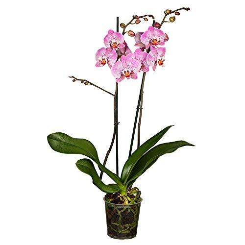 Florado violette Orchidee 'Special', Phalaenopsis, echte Zimmerpflanze, Pflanze, Topfgröße 12cm