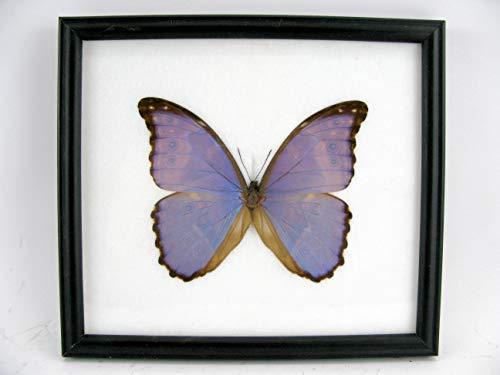 asiahouse24 Didius Blue Morpho (Morpho didius) aus Amazonien (Peru) - echter riesiger und exotischer Schmetterling im Schaukasten, Bilderrahmen aus Holz - gerahmt - Taxidermy