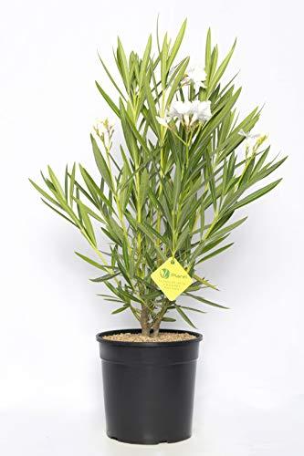Plantì NERIUM Oleander, Oleandro Piante Vere da Esterno Usato per Decorare Ambienti Urbani, Piante da siepe sempreverde con Foglie Lucide e coriacee Diametro Vaso 19 cm (Bianco)