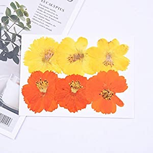 Silk Flower Arrangements Artificial and Dried Flower 4-6cm/12pcs,Natural Preserved Real Flower,Cosmos sulphureus for Wedding Invitation bookmarkcard,Scented Candle Decor