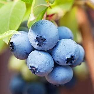 Blueberry Fruit Live Plants Four Biloxi Southern Highbush Includes 4 Plant Garde
