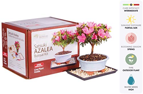 Brussel's Live Satsuki Azalea Outdoor Bonsai Tree Kit - 4 Years Old; 6' to 8' Tall with Decorative Container