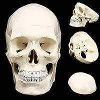 教育モデル頭蓋骨モデル、人体解剖学医学解剖学モデル解剖学ヘッド人間の頭蓋骨研究用品教育解剖学19.5 * 15 * 21 Cm for school